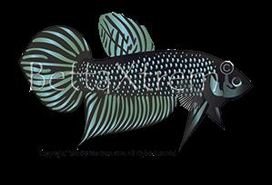 Bettaxtrem reproducci n y cr a de bettas salvajes y for Criadero de peces goldfish