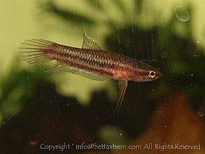 Bettaxtrem galer a de bettas salvajes for Cria de peces ornamentales